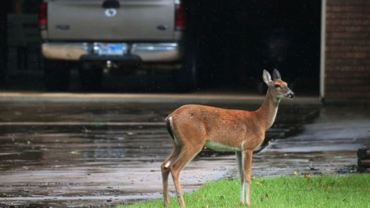 deerflood