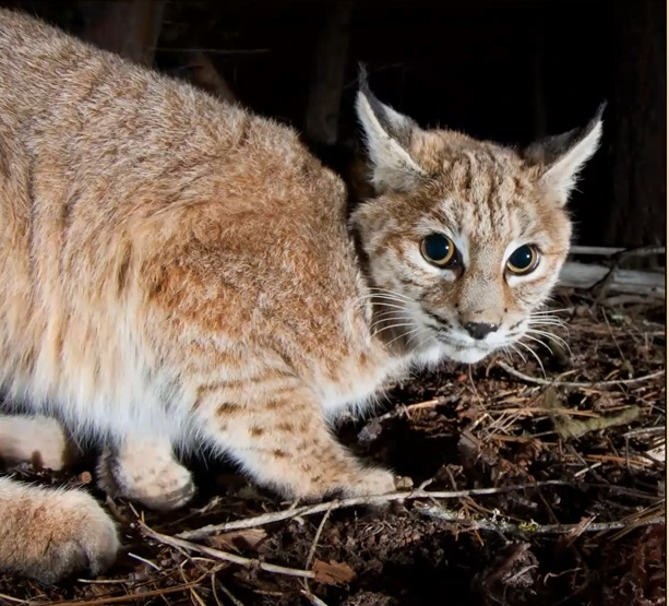 Dr Hiller Bobcat Photo