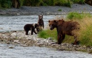 Bear with cubs on River