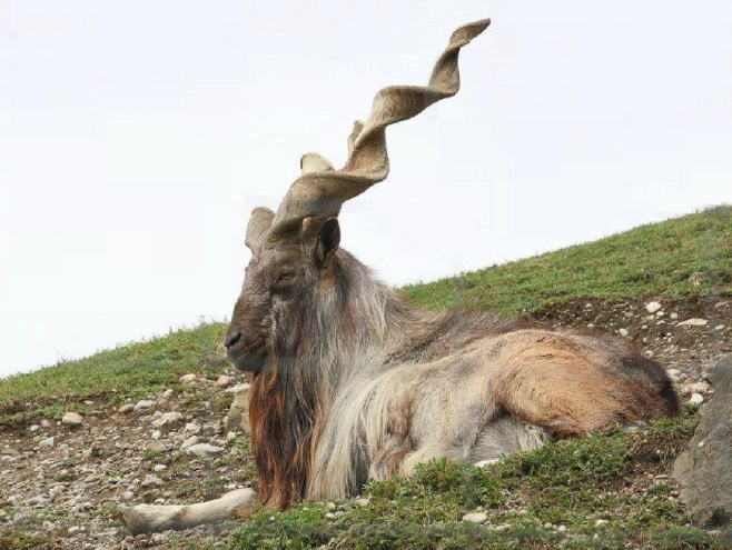 Markhor. Courtesy of Xendan.org