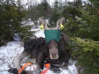 Moose No.46_NH Moose Research Project 2014-2015