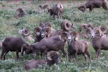 Heartland Outdoors.com Bighorn Sheep Photo