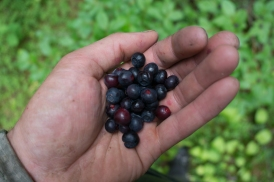 Huckleberries in South Rockies Grizzly Bear Project