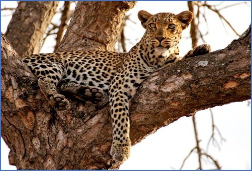 Leopard Photo 5