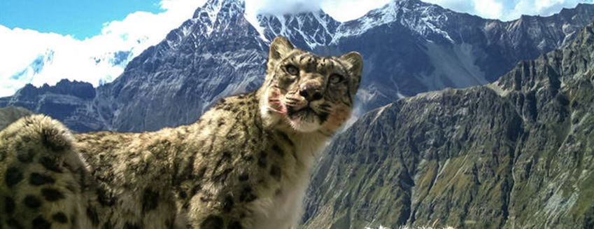 Snow Leopard Photo 2