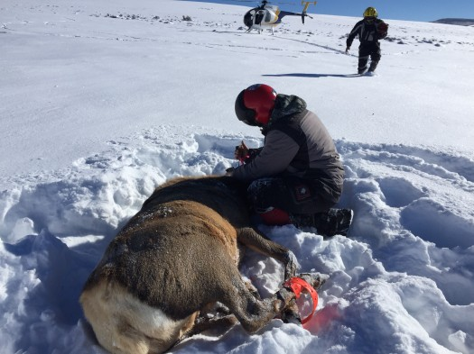 Gunnison Basin elk captured with netgun 2018