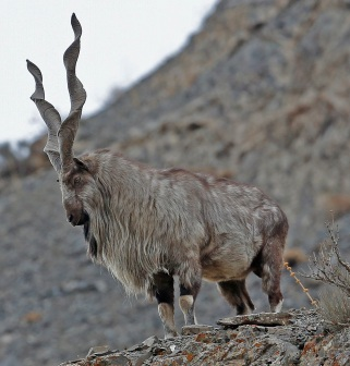 HQ Markhor Photo 1 cropped