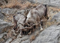 HQ Markhor Photo 2 cropped
