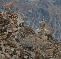 HQ Markhor Photo 3 cropped